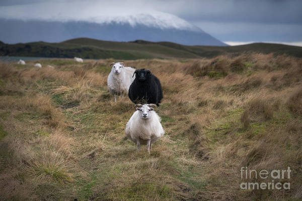 Photograph - Icelandic Sheep by Michael Ver Sprill