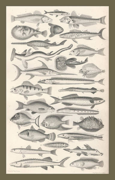 Tropical Drawing - Ichthyology by Dreyer Wildlife Print Collections