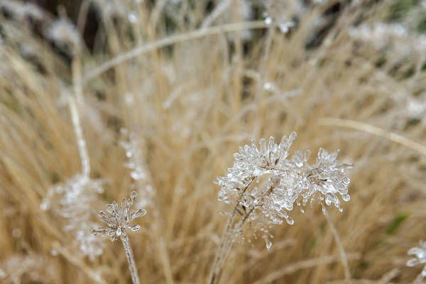Photograph - Icicles On Ornamental Grass, No. 1 by Belinda Greb