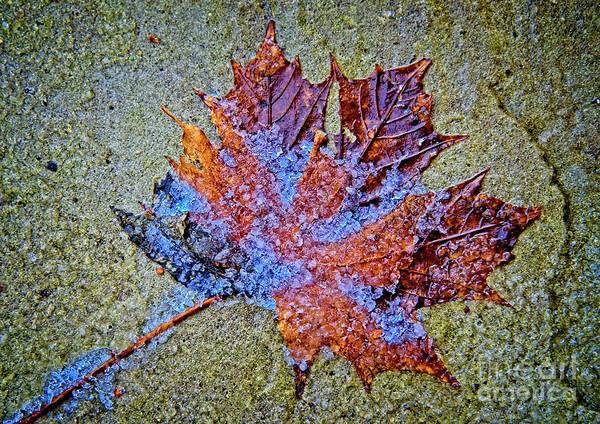 Photograph - Icy Maple Leaf On Stone by Martyn Arnold