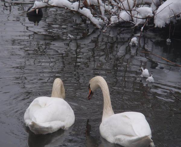 Wall Art - Photograph - Icy Swans by Valia Bradshaw