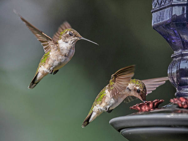 Beautiful Hummingbird Photograph - The Longest Wait by Betsy Knapp