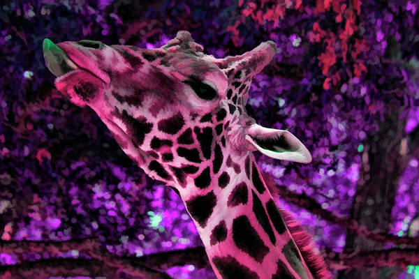 Colorful Giraffe Photograph - If Only I Could Reach That One by Douglas Barnard