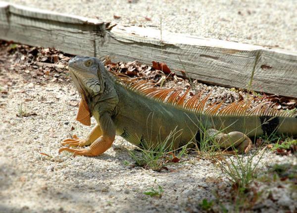 Photograph - Iguana 2 - Key Largo by Frank Mari