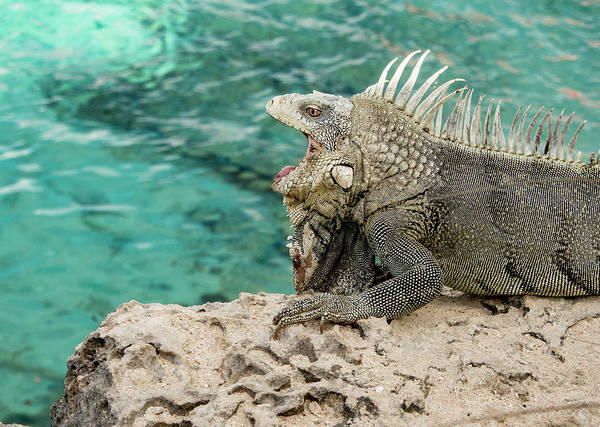 Photograph - Iguana 6 by Jean Noren