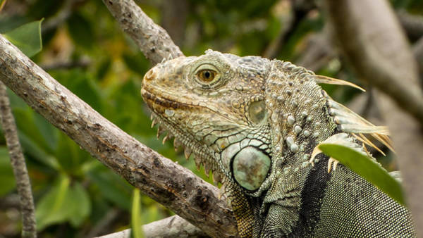 Photograph - Iguana by Frank Mari