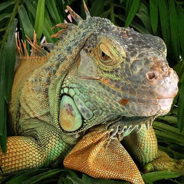 Reptiles Wall Art - Photograph - Iguana, #juansilvaphotos #jmsilva59 by Juan Silva