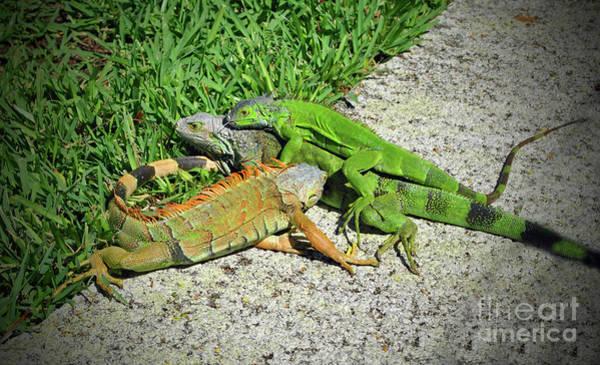 Photograph - Iguana Love In The Keys by Jost Houk
