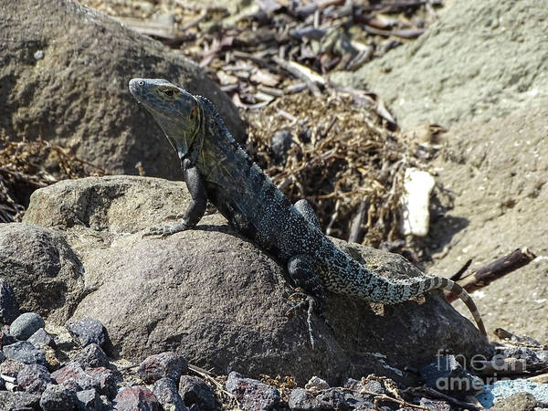 Photograph - Iguana On The Rocks 2 by Camille Pascoe
