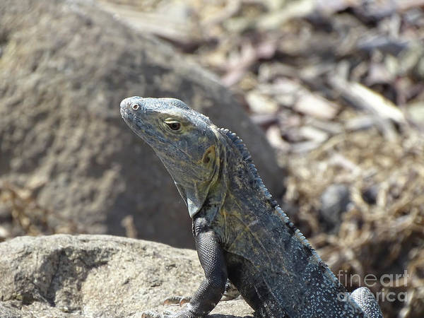 Photograph - Iguana On The Rocks by Camille Pascoe