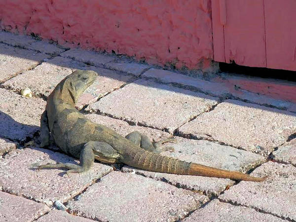 Iguana On The Street Art Print