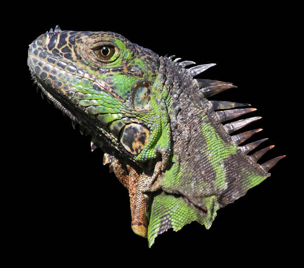 Wall Art - Photograph - Iguana by Shane Bechler