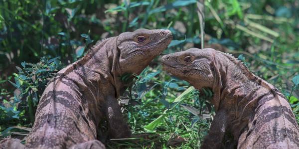 Iguana Photograph - Iguanas  by Betsy Knapp