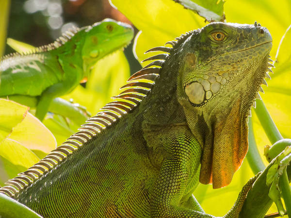 Photograph - Iguana's On The Lookout by Robin Zygelman