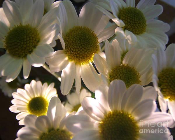Photograph - Illuminated Daisies Photograph by Kristen Fox
