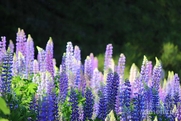 Wall Art - Photograph - Illuminated Lupines by Hanni Stoklosa
