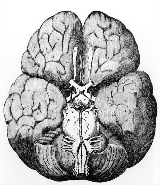 Wall Art - Photograph - Illustration Of Blood Supply To The Brain,c.wren by
