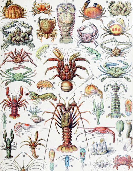 Wall Art - Drawing - Illustration Of Crustaceans, 1923 by Adolphe Philippe Millot