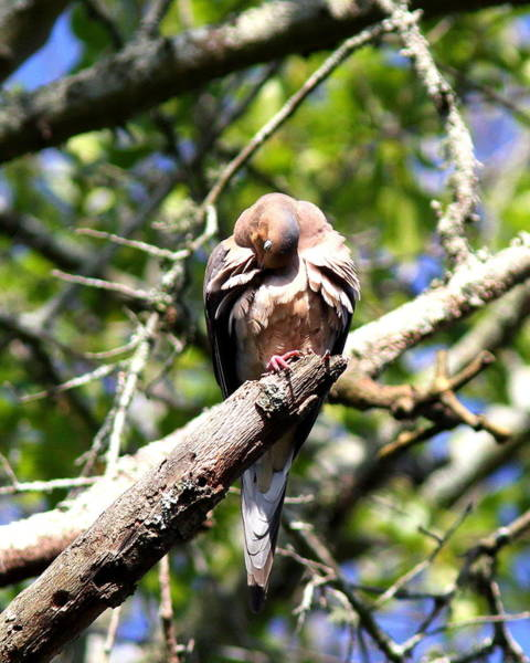 Wall Art - Photograph - Img_7276 - Mourning  Dove by Travis Truelove