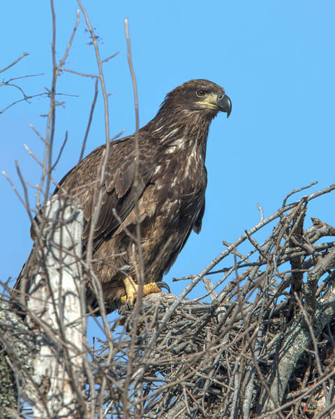 Photograph - Immature Bald Eagle Drb0204 by Gerry Gantt