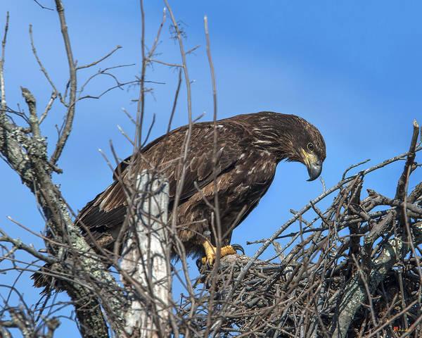 Photograph - Immature Bald Eagle Drb0205 by Gerry Gantt