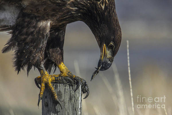 Photograph - Immature Bald Eagle by Spencer Baugh