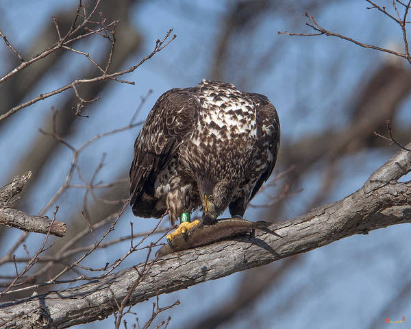 Photograph - Immature Bald Eagle With A Fish Drb0214 by Gerry Gantt