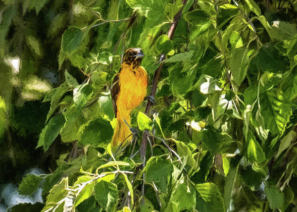 Photograph - Immature Baltimore Oriole by Jorge Perez - BlueBeardImagery