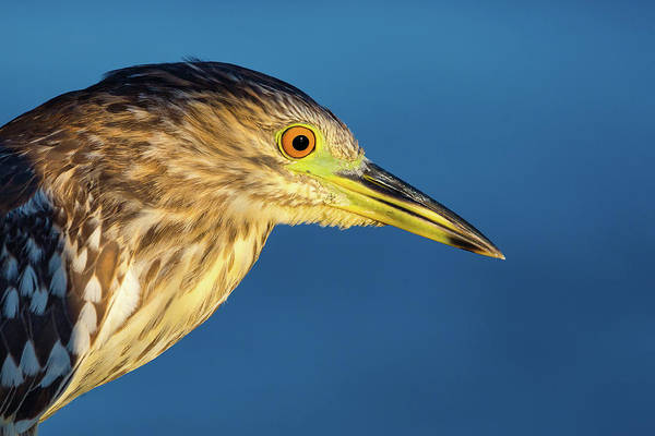 Night-heron Photograph - Immature Black-crowned Night Heron by Brian Knott Photography