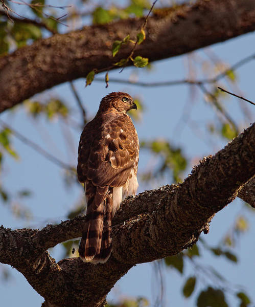 Photograph - Immature Coppers Hawk by Sharon Talson