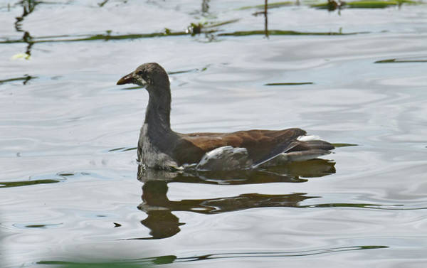 Photograph - Immature Gallinule by Sally Sperry