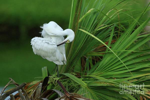Little Blue Heron Photograph - Immature Little Blue Pose by Deborah Benoit