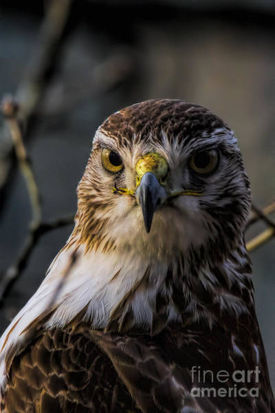 Photograph - Immature Red-tailed Hawk by Barbara Bowen