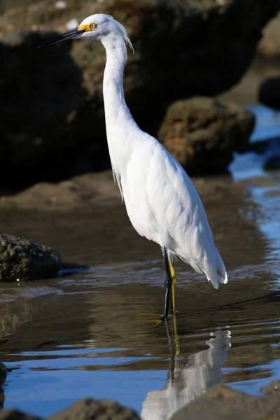Photograph - Immature Snowy Egret by Carol Montoya