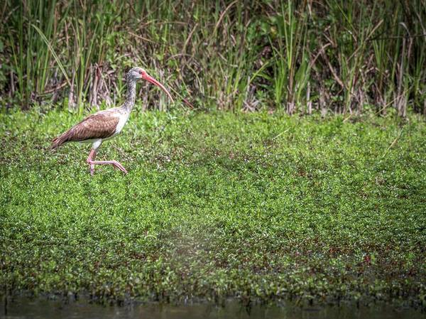 Photograph - Immature White Ibis Stalking by Framing Places