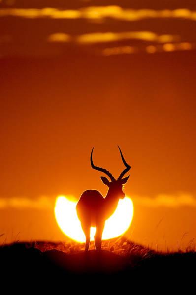 Masai Photograph - Impala In The Sun by Muriel Vekemans