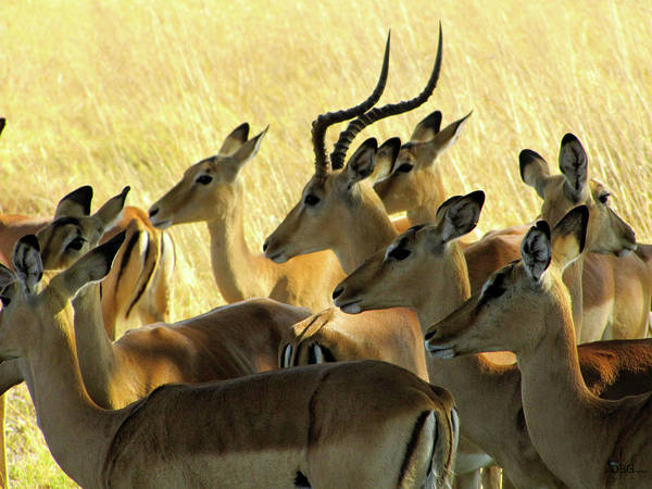 Photograph - Impalas In The Plains by David Bader