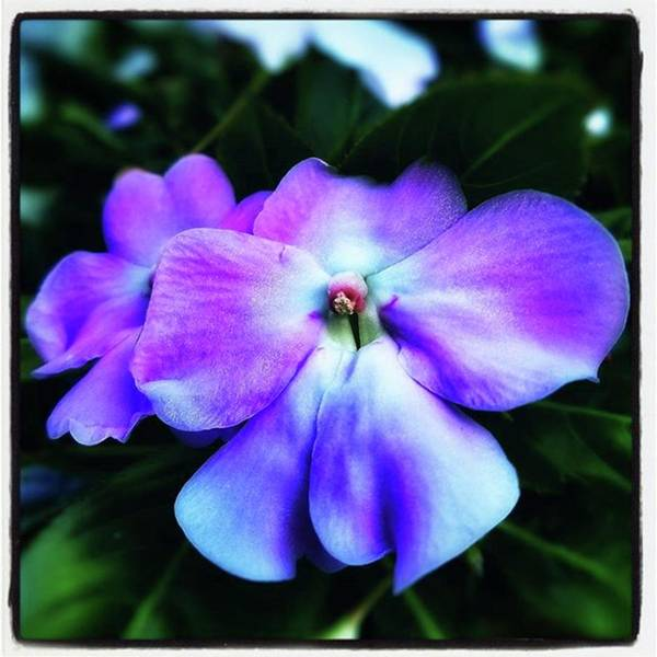 Photograph - Impatiens. Also Known As our Lady's by Mr Photojimsf