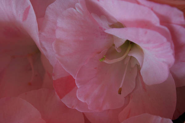 Wall Art - Photograph - Impatiens Beauty by Nancy TeWinkel Lauren