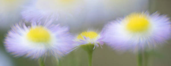 Photograph - Impressionist Asters by Tracy Munson