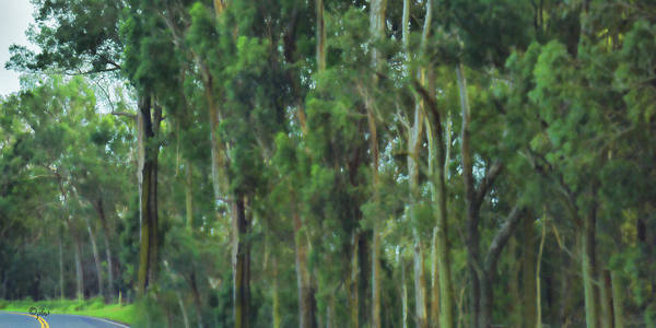 Photograph - Impressionistic Eucalyptus by Paulette B Wright