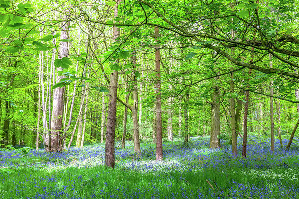 Wall Art - Photograph - In A Bluebell Wood by W Chris Fooshee