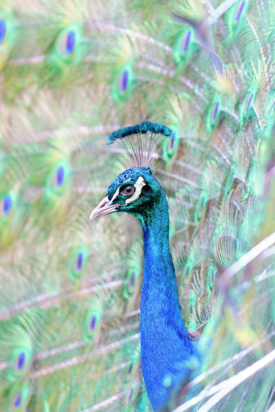Photograph - In A Sea Of Feathers  by Wes and Dotty Weber