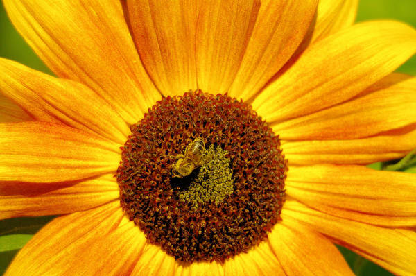 Wall Art - Photograph - In A Sea Of Yellow And Pollen by Jeff Swan