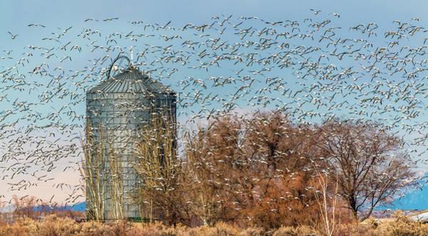 Photograph - In Abundance - Snow Geese by TL Mair