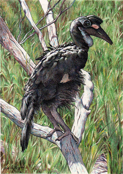 Hornbill Drawing - In African Grasses by Andrea England