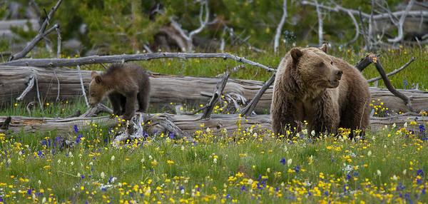 Grizzly Bears Photograph - In Bloom by Sandy Sisti