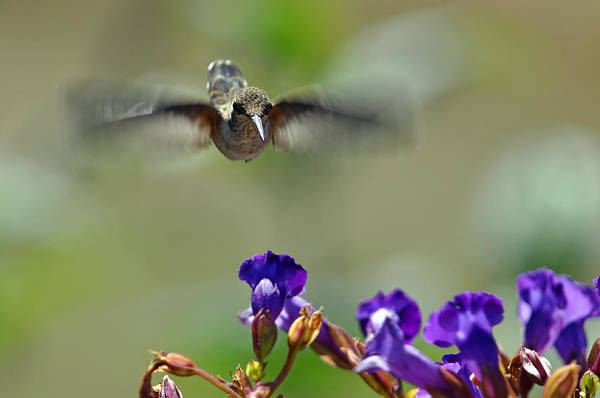 Wall Art - Photograph - In Coming A Hummingbirds Story by Laura Mountainspring