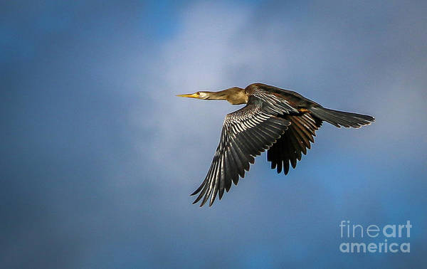 Photograph - In-flight Anhinga by Tom Claud