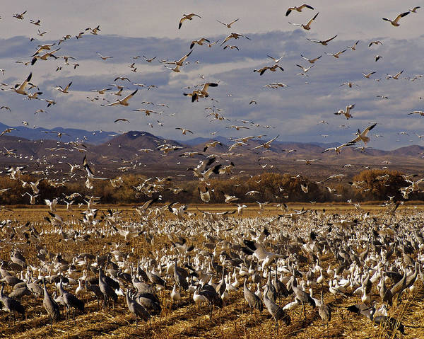 Photograph - In Flight  Bosque Del Apache by Kurt Van Wagner